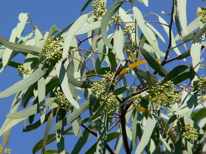 Eucalyptus – for colds and cough